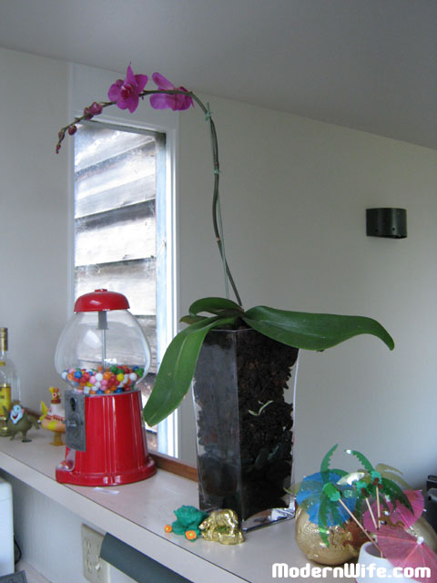 orchid after repotting